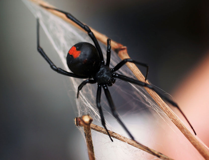 Biggest Black Widow Spider in The World Black Widow And World Maps