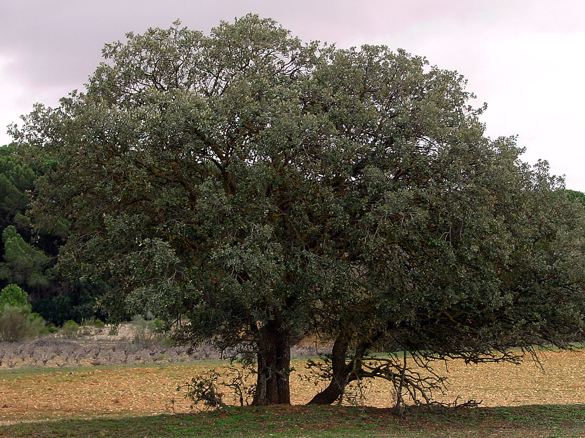 Tree - meaning of tree dictionary