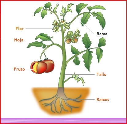 El reino de las plantas el blog del maestro ra l for Cuales son las partes de un arbol