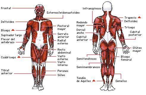 http://ceipntrasradelapiedad.files.wordpress.com/2010/08/sist_muscular.jpg?w=491&h=321