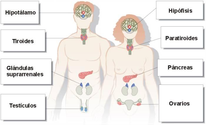 Ubicacion del sistema endocrino - Sistema Endocrino